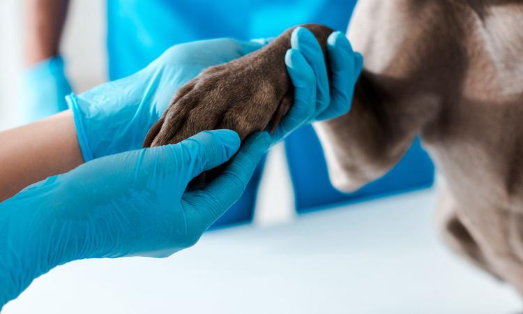 mão de uma médico com luva azul e uma bata de um cachorro marrom