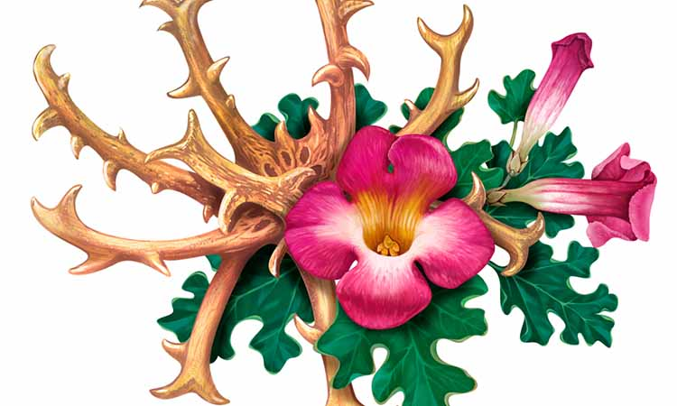 flor do ativo Harpagophytum